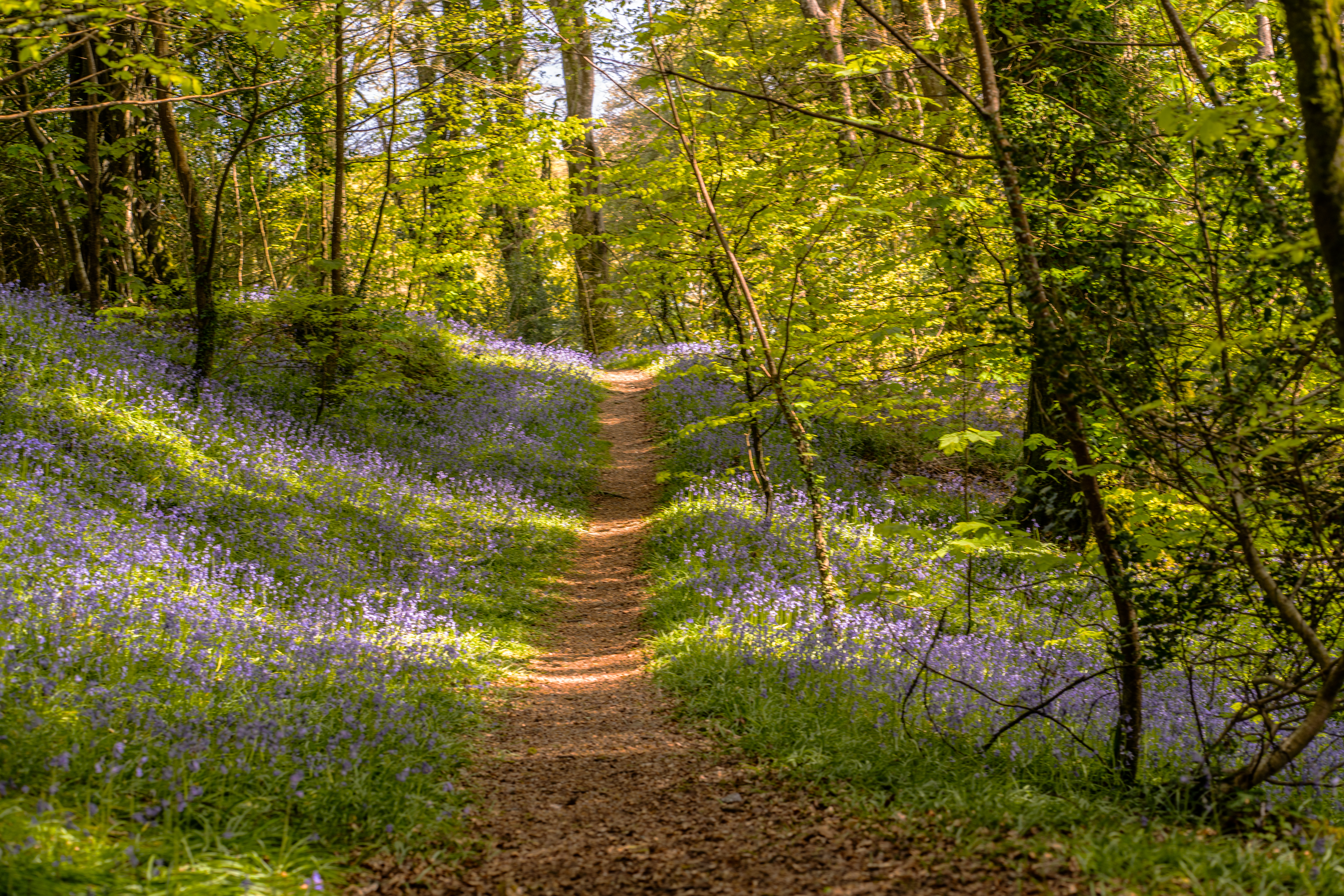 Bluebell Woods Llanhydrock